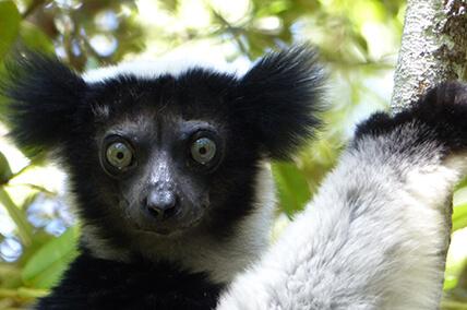 Indri Indri in Madagaskar