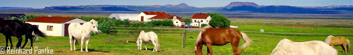 Islandpferde in weiter isländischer Landschaft