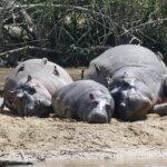 Hippos im Queen Elizabeth Nationalpark
