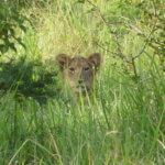 Löwenbaby in Uganda
