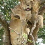 Baumlöwe in Uganda